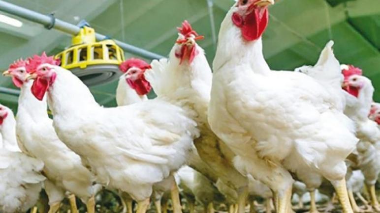 """مواطنون غاضبون من ارتفاع أسعار """"الدجاج"""" وجمعية مربي الدواجن ترد"""